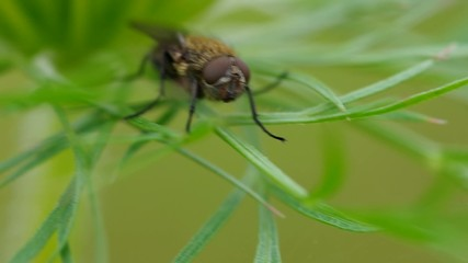 Fly - Delia radicum on grass