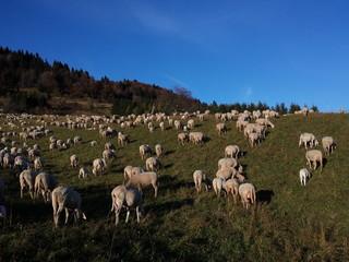 Migliaia di pecore al pascolo