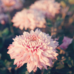 Pink Chrysanthemums flower - genus of flowering