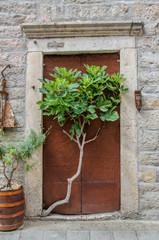 Ein Feigenbaum geht seinen Weg