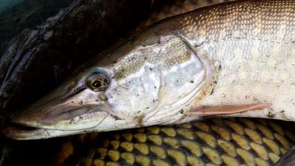 Detail view of the pike caught from the pond