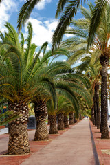Walking alley with palms in Barcelona