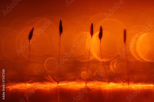 Fototapeta abstract blurred natural background orange dandelion seeds