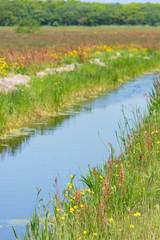 Wild buttercups near ditch