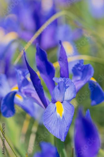 Foto op Canvas Iris Iris Blue magic