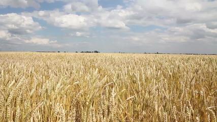 golden wheat field in the summer wind