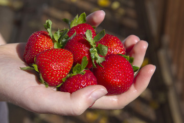 Hand Holding Ripe, Sweet, Organic Strawberries