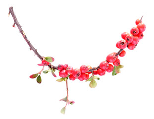 Cotoneaster branch isolated on white
