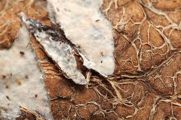 Close up of rotten coconut (macro)