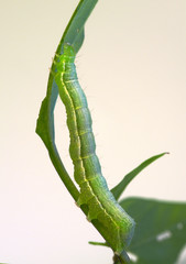 Inchworm on a twig leaf