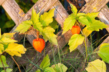 chinese lantern plant outgrowing of a wooden garden fence poster