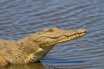Nile Crocodile on the River Bank