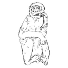 Vector Sketch Monkey with a Banana