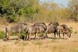 Blue wildebeest herd