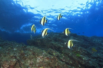 Moorish Idol fish on underwater reef