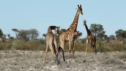Two giraffe bulls (Giraffa camelopardalis) fighting