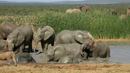 African elephants playing in the water