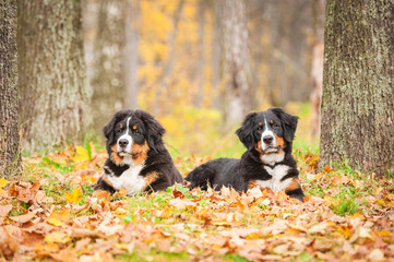 Two bernese mountain puppies lyingin in the park in autumn