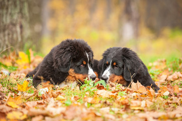 Two bernese mountain puppies lying on the leaves in autumn