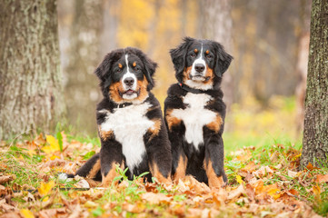 Two bernese mountain puppies sitting in the park in autumn