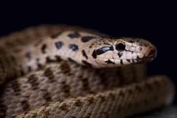 Transcaucasian rat snake / Zamenis hohenackeri