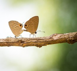 Couple butterfly making love