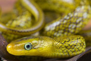 Himalayan trinket snake / Orthriophis hodgsoni