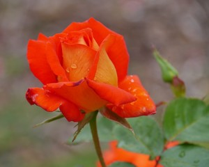 An orange blooming rose flower