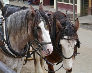 Horses of a carriage and pair in Sweden