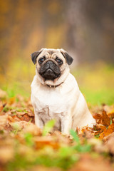 Beige pug dog sitting on the leaves in autumn