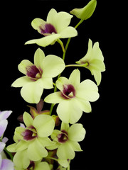 Beautiful Yellow and violet orchids isolated on black background