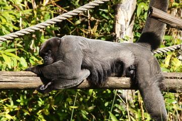 Lagotriche ou Singe laineux en train de se reposer