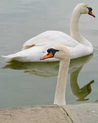 Portrait of two mute swans cygnus olur in a pool
