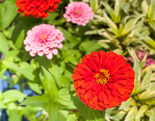Beautiful Zinnia flower against motley, summer background