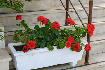 Red Geraniums in pots at  garden