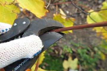 Pruning a vine with a garden secateur in the autumn garden