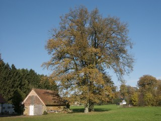 Alter Baum im Herbst in der Sennelandschaft bei Lipperreihe