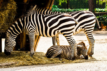 Zebras with puppy