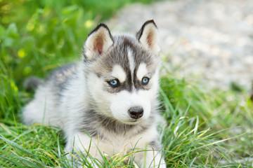 Husky puppy dog