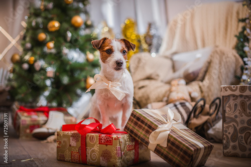 Papiers peints Chien dog christmas, new year, Jack Russell Terrier