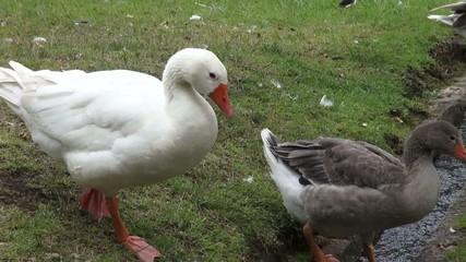 Geese, Birds, Animals, Nature, Wildlife