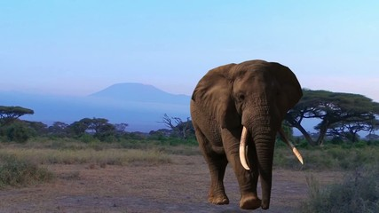 Elephant. Kilimanjaro, Savannah. Evening.