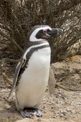 Magellanic Penguin, Punta Tombo, Patagonia, Argentina