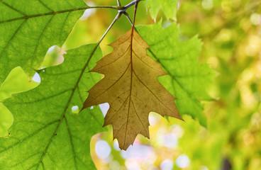 Autumn oak leaves.