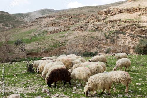 Sheep - 72514146