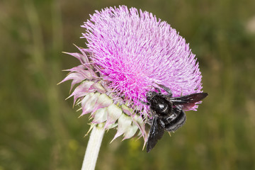 Bumblebee on Thistle Flower 01