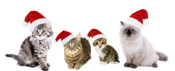 Cats in Santa Claus hat isolated on white