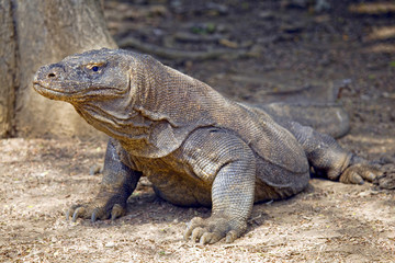 Komodo dragon basks in the sun, Komodo Island, Indonesia.