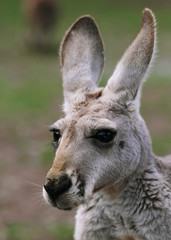 The red kangaroo female closeup (Macropus rufus)