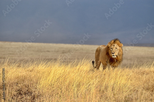 Canvas Afrika Lonely Lion